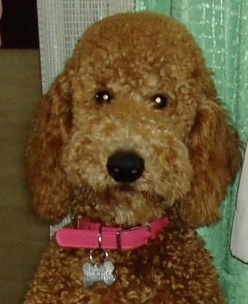 スタンダードプードルのブリーダーの繁殖犬でありペットでもあるスタンダードプードル(毛色はレッド、アプリコット)の写真7