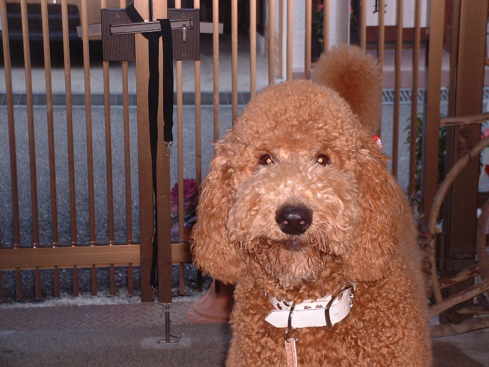 スタンダードプードルのブリーダーの繁殖犬でありペットでもあるスタンダードプードル(毛色はレッド、アプリコット)の写真8
