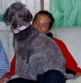 スタンダードプードルのブリーダーの繁殖犬でありペットでもあるスタンダードプードル(毛色はカフェ・オ・レ)の写真