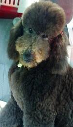 スタンダードプードルのブリーダーの繁殖犬でありペットでもあるスタンダードプードル(毛色はグレー)の写真4