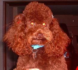 スタンダードプードルのブリーダーの繁殖犬でありペットでもあるトイプードル(毛色はブラウン)の写真4