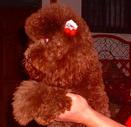 スタンダードプードルのブリーダーの繁殖犬でありペットでもあるトイプードル(毛色はブラウン)の写真5