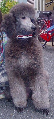 スタンダードプードルのブリーダーの繁殖犬でありペットでもあるスタンダードプードル(毛色はシルバー、プラチナシルバー)の写真