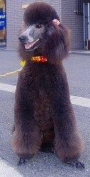 スタンダードプードルのブリーダーの繁殖犬でありペットでもあるスタンダードプードル(毛色はグレー)の写真3