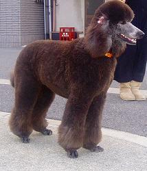 スタンダードプードルのブリーダーの繁殖犬でありペットでもあるスタンダードプードル(毛色はグレー)の写真1