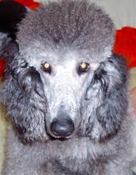 スタンダードプードルのブリーダーの繁殖犬でありペットでもあるスタンダードプードル(毛色はシルバー、プラチナシルバー)の写真3