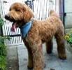 スタンダード・プードル、レッドの子犬、フランソワ