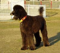 スタンダードプードルのブリーダーの繁殖犬でありペットでもあるスタンダードプードル(毛色はグレー)の写真5