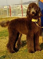 スタンダードプードルのブリーダーの繁殖犬でありペットでもあるスタンダードプードル(毛色がブラックだった頃)の写真