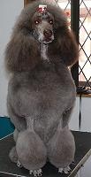 スタンダードプードルのブリーダーの繁殖犬でありペットでもあるスタンダードプードル(毛色はチョコレート)の写真