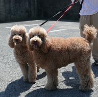 スタンダードプードルのブリーダーの繁殖犬でありペットでもあるスタンダードプードル(毛色はレッド、アプリコット)の写真2
