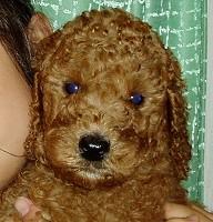 スタンダードプードルのブリーダーの繁殖犬でありペットでもあるスタンダードプードル(毛色はレッド、アプリコット)の写真6