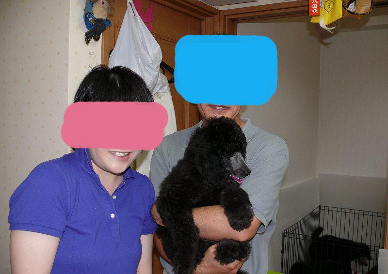スタンダードプードル シルバー 子犬