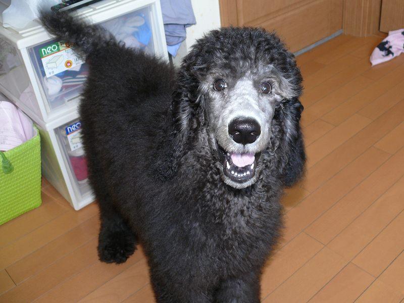 スタンダードプードル 子犬 関東