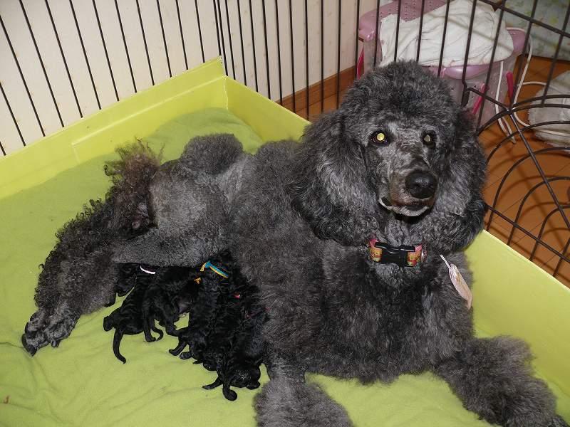 スタンダードプードル 子犬 グレー