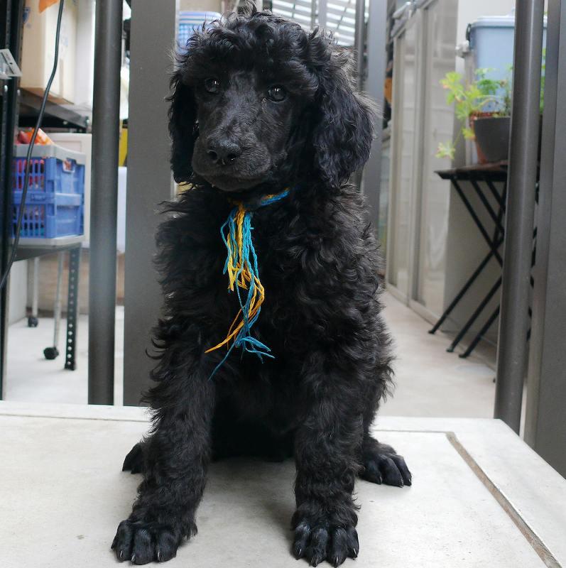 スタンダードプードル  ブラック 子犬
