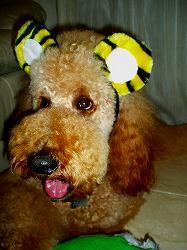 スタンダードプードルのブリーダーの繁殖犬でありペットでもあるスタンダードプードル(毛色はレッド、アプリコット)の写真3